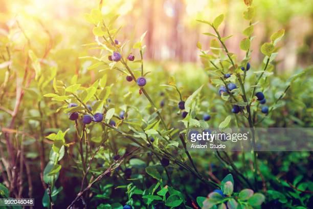 ベリーの森 - ブルーベリー ストックフォトと画像