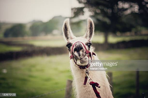 bertie llama - 手綱 ストックフォトと画像