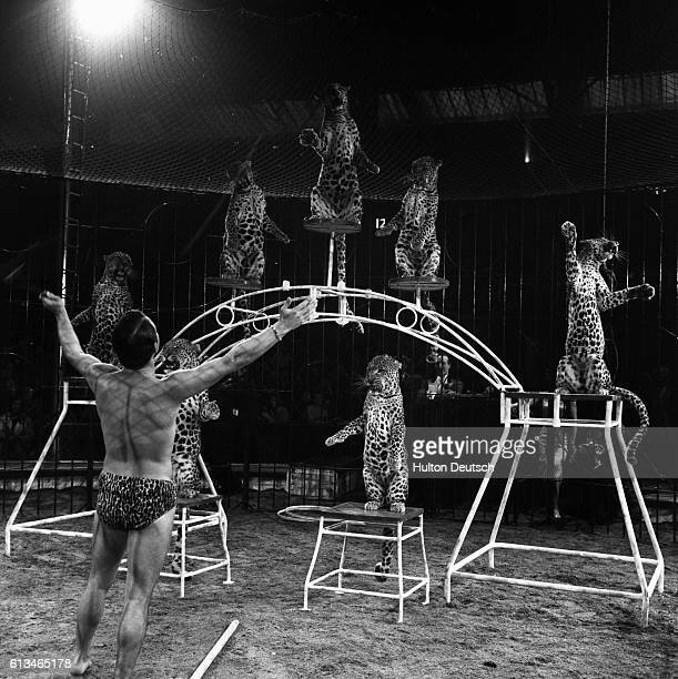 Bertram Mills Circus leopards sit up on their hind quarters at the command of their trainer