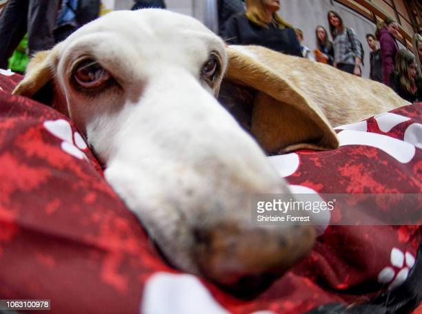 Bessie the Basset Hound at The National Pet Show at NEC Arena on November 03 2018 in Birmingham England