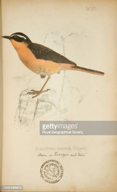 Bessonornis semirufa Rüppell From a published book of coloured plates recording birds seen in Africa by Rüppell and others with sketches by John...