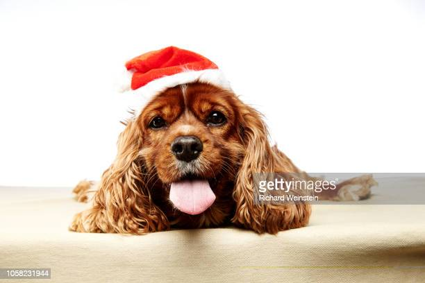 best furry friends this christmas - weinstein stock pictures, royalty-free photos & images
