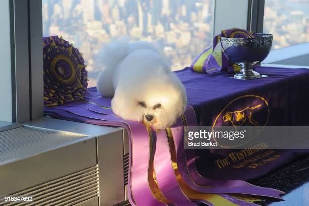 'Best in Show' at the Westmintster Kennel Club Dog Show Flynn a Bichon Frise visits One World Observatory the at One World Observatory on February 14...