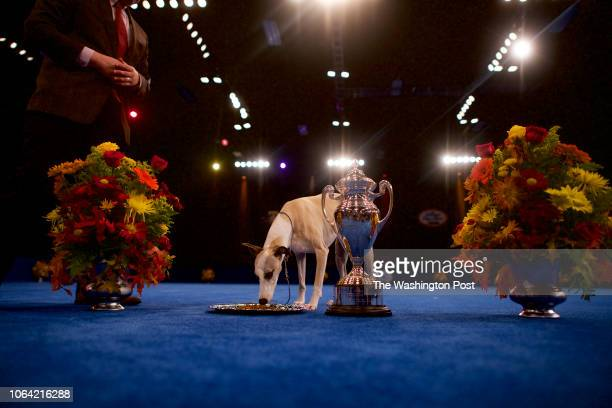 Best in Show champion Whiskey a Whippet eats food from a trophy plate at the National Dog Show in Oaks PA on November 17 2018 Now in its 17th year...