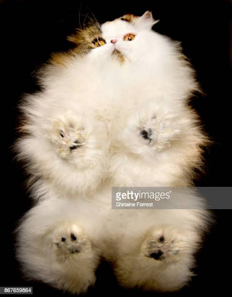 Best In Show Cullykhan Vivaldi a Brown Tabby and White BiColour Persian cat poses for studio portraits after participating in the Supreme Cat Show at...