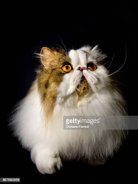 Best In Show Cullykhan Vivaldi, a Brown Tabby and White Bi-Colour Persian cat poses for studio portraits after participating in the GCCF Supreme Cat...
