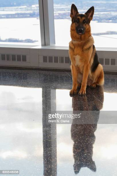 Best In Show winner at the 2017 Westminster Kennel Club Dog Show Rumor a 5 year old German Shepherd poses for photographs during his visit to One...
