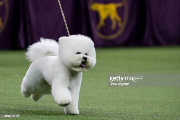 Best in Show winner Flynn a Bichon Frise competes in the finals of the 142nd Westminster Kennel Club Dog Show at The Piers on February 13 2018 in New...