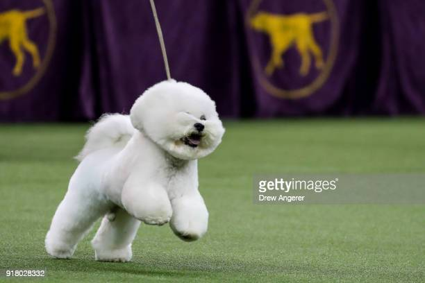 Flynn Westminster Dog Show Winner Stock Photos And Pictures