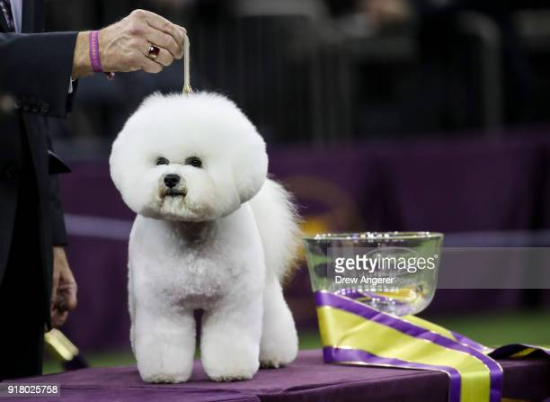 Best in Show winner Flynn a Bichon Frise poses for photos at the conclusion of the 142nd Westminster Kennel Club Dog Show at The Piers on February 13...