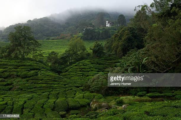 Best of Highlands Tea Plantation largest of the Cameron Highlands