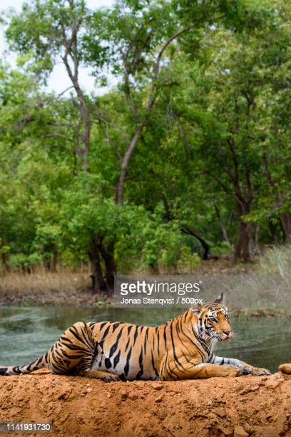 best of, part - bandhavgarh national park stock pictures, royalty-free photos & images