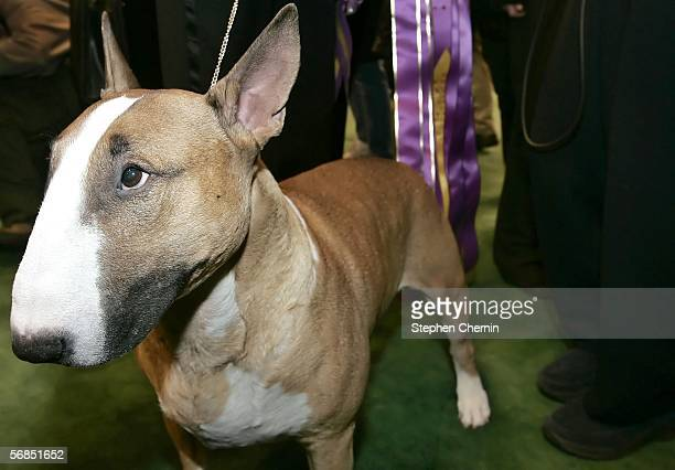 Best of Show winner Rufus, a Bull Terrier, stands near his prize ribbon behind him after the Best in Show competiton for the 130th Westminster Dog...