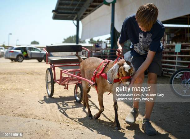 Best2 Daniel Ford works with his goat Cashew at the Boulder County Fair Wednesday to prepare it for the cart class Ford is a member of the Goats...