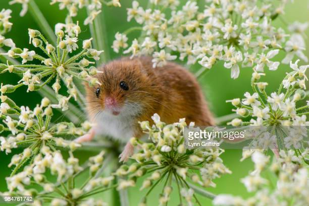 i bet she can't see me now! - harvest mouse stock pictures, royalty-free photos & images