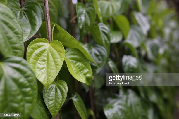 betel leaf field - bangladesh nature stock pictures, royalty-free photos & images