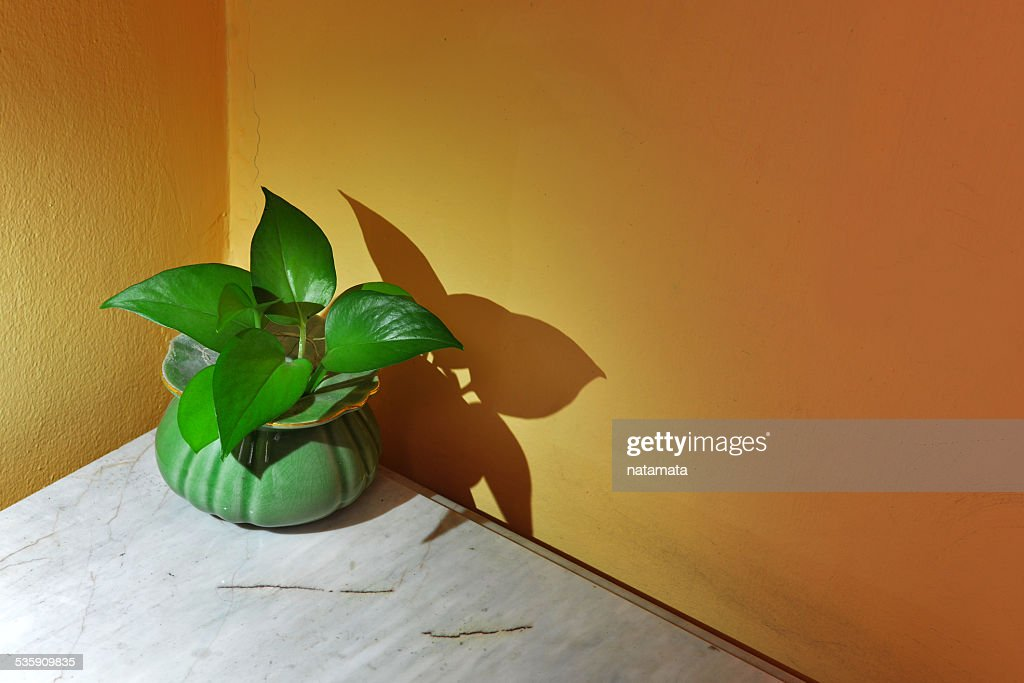Betel leaf green on small pots : Stock Photo