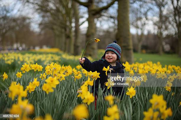 Betie from London plays amongst the daffodils in St James's Park on April 1 2015 in London England Despite the sun making a brief appearance today...