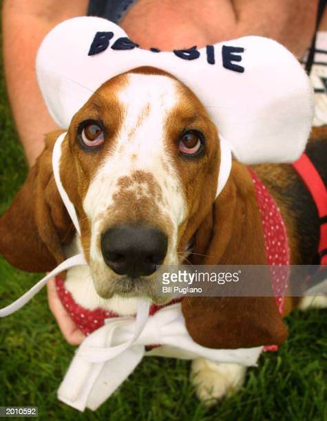 'Betsie' a twoyearold basset hound wears a hat as she attends the annual Great American Basset Waddle May 18 2003 in Birmingham Michigan More than...