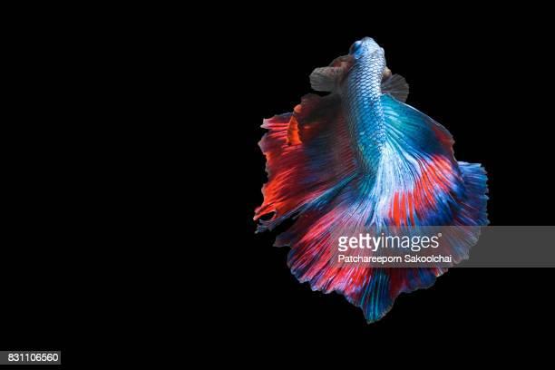 Betta fish, aquarium animal