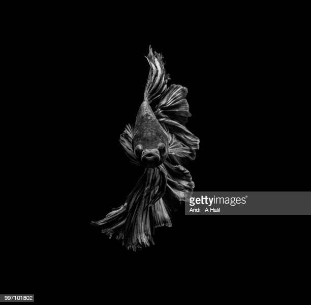 betta fish in b&w - fine art portrait stock pictures, royalty-free photos & images