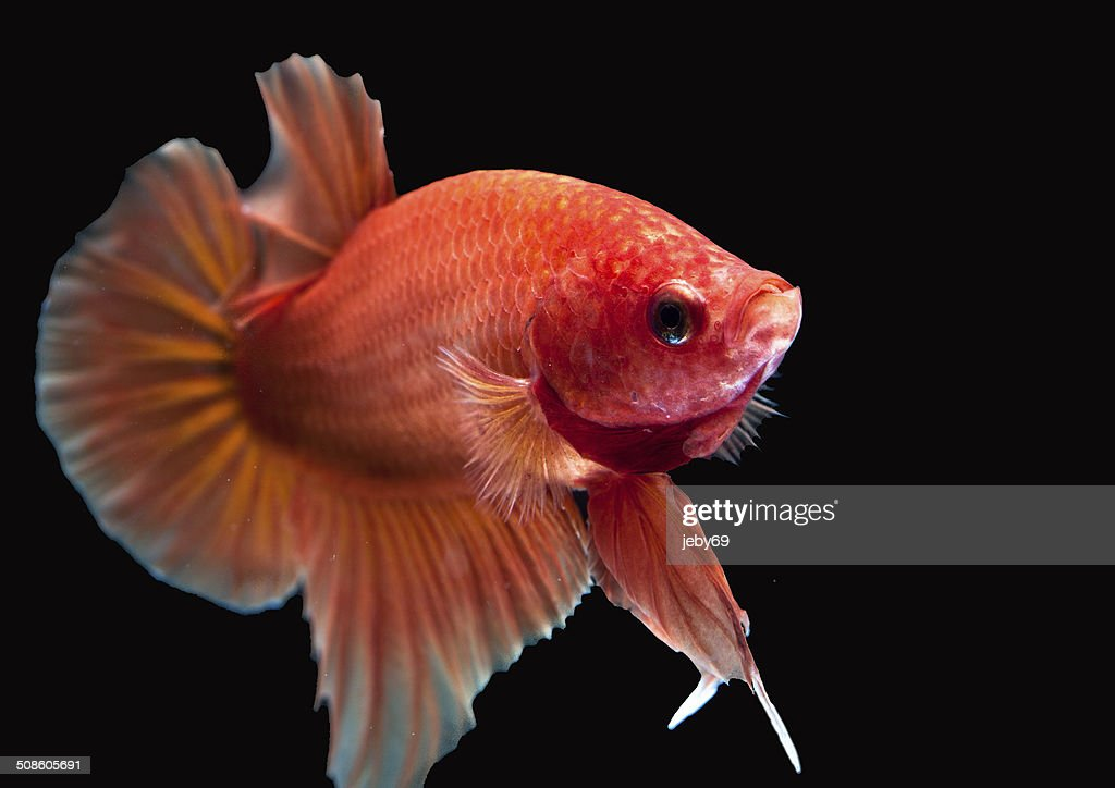 Peixe Betta, isolado no preto : Foto de stock
