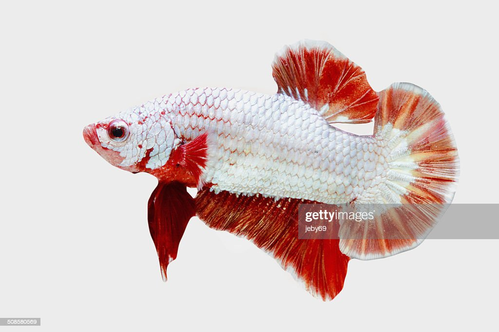 Betta Fish isolated on White : Stockfoto