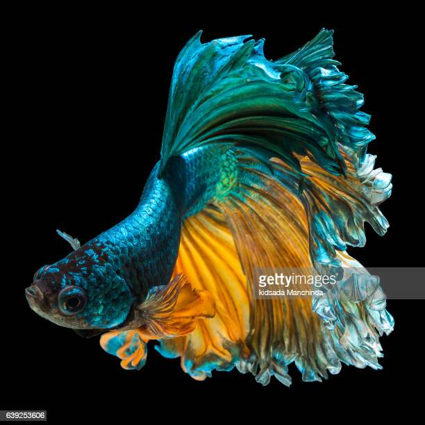 betta fish, siamese fighting fish 'Half moon' isolated on black background