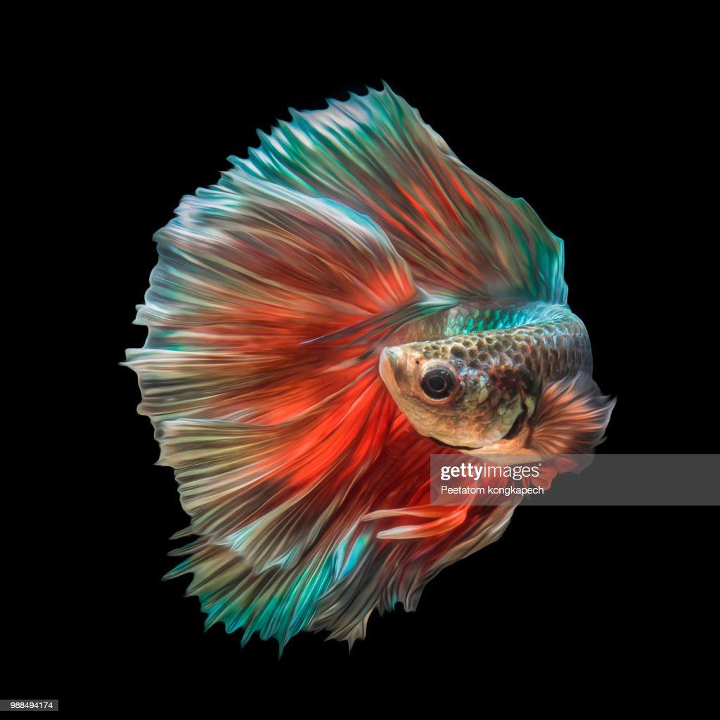 Betta Fish Stock Photo | Getty Images