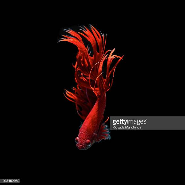 betta fish - fish x ray stock photos and pictures