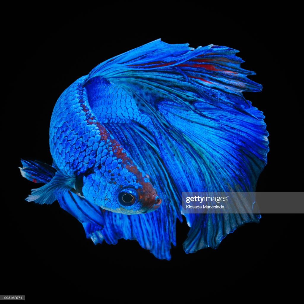 60 top siamese fighting fish pictures, photos and images getty imagesbetta fish