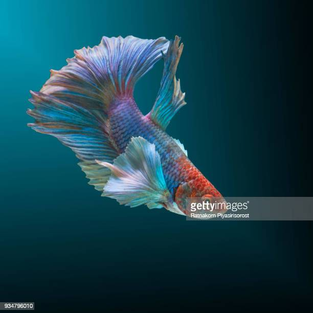 betta fish, siamese fighting fish, betta splendens,aquarium,moment of siamese fighting fish - siamese fighting fish stock pictures, royalty-free photos & images