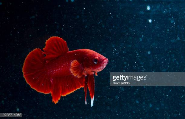 betta fish super red (fancy dragon) or siamese fighting fish on black background - poissons exotiques photos et images de collection