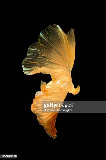 Betta fish,Siamese fighting fish on black background
