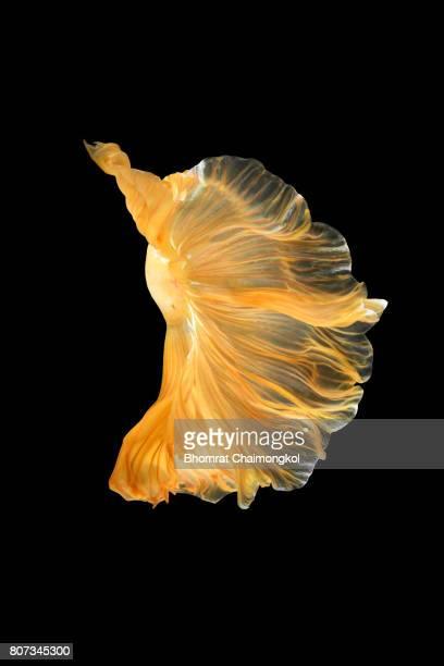 betta fish,siamese fighting fish on black background - aquatisches lebewesen stock-fotos und bilder
