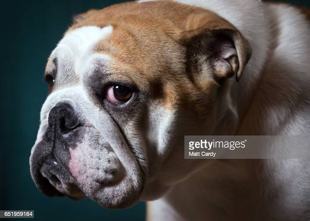 Betty, a 2-year-old English bulldog bitch, poses for a photograph on the second day of Crufts Dog Show at the NEC Arena on March 10, 2017 in...