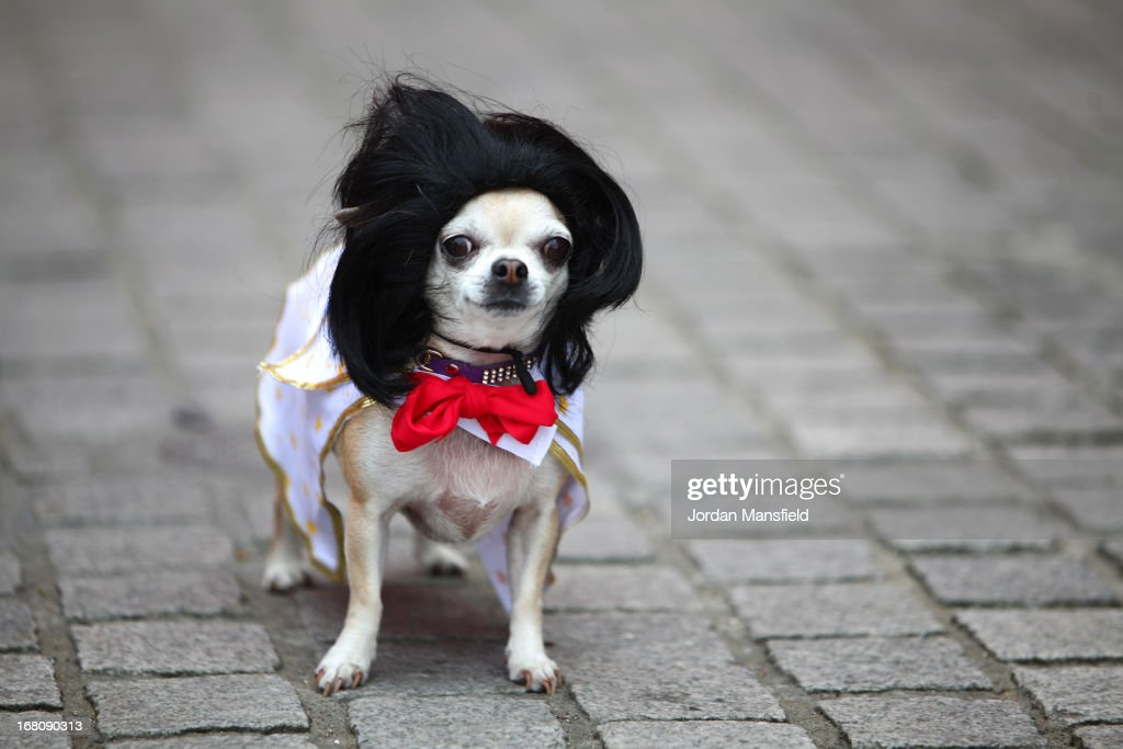Betty, a Teacup Chihuahua is dressed up as Elvis Presley on May 5, 2013 in London, England. Enthusiasts gathered at the Picture House in Stratford to parade their dogs dressed up as famous Sci-Fi characters as part a London-wide event called Sci-Fi London.