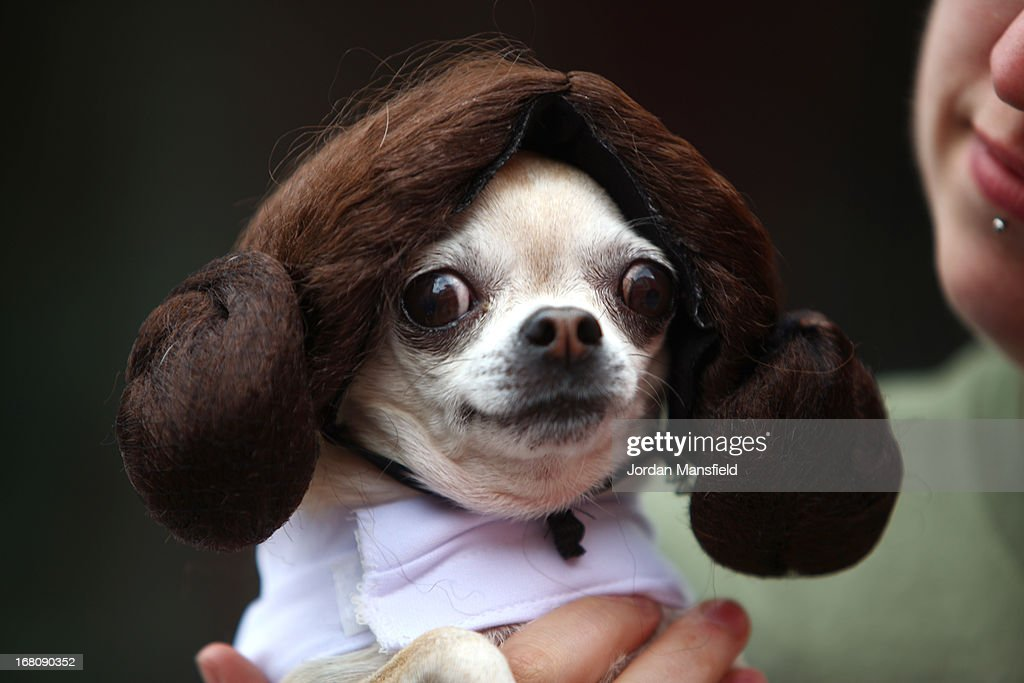 Betty, a Teacup Chihuahua is dressed up as the character