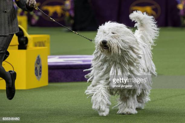 Betty the Komondor runs during competition in the working category on the final night at the Westminster Kennel Club Dog Show at Madison Square...