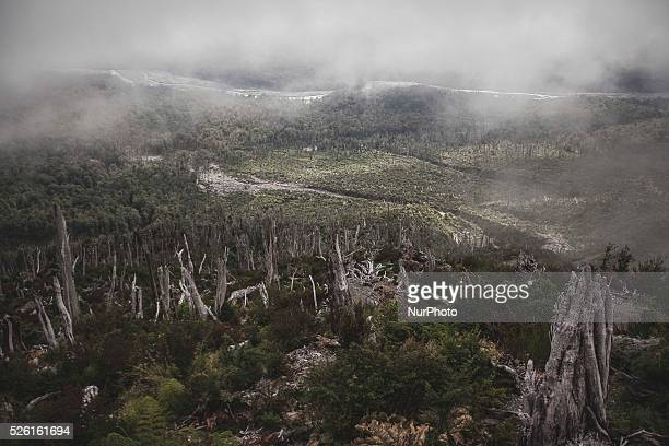 Between carcasses of trees it can be appreciated the extent of damage caused to the forest by the eruption of the Chaiten volcano in Chaiten city,...