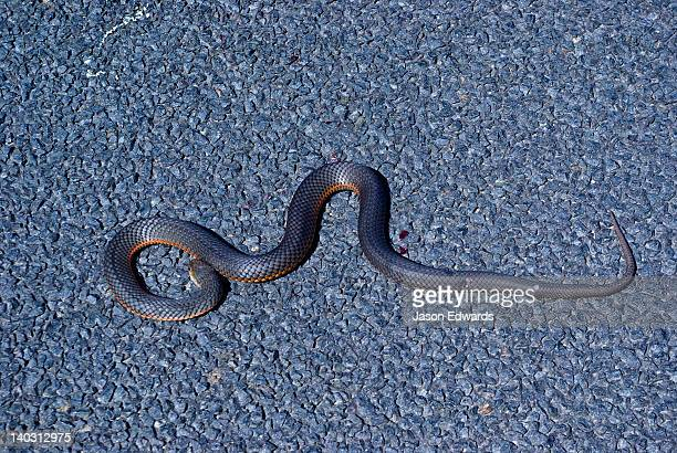 a dead venomous lowlands copperhead snake coiled on a country road. - copperhead snake stock pictures, royalty-free photos & images