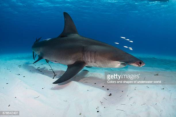 beutiful creature - south bimini stock photos and pictures