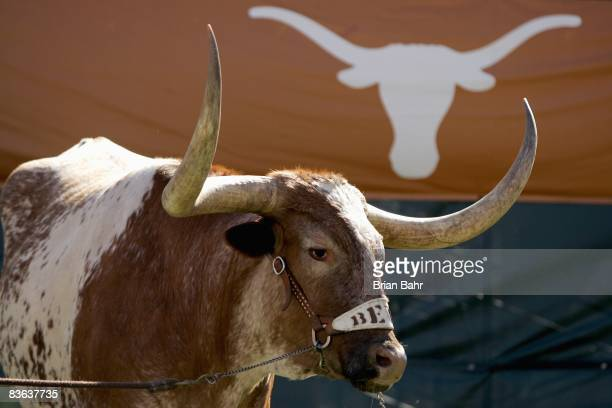 Bevo the Texas Longhorns' mascot stands in the corner during a game against the Baylor Bears on November 8 2008 at Darrell K RoyalTexas Memorial...