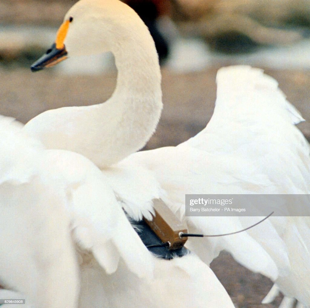 Bewicks Swan Abelhard Shows His Tracking Transmitter At The 01 News Photo