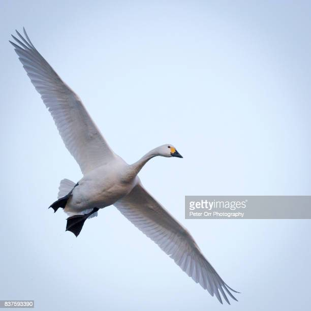 a bewick's swan in flight - swan stock pictures, royalty-free photos & images