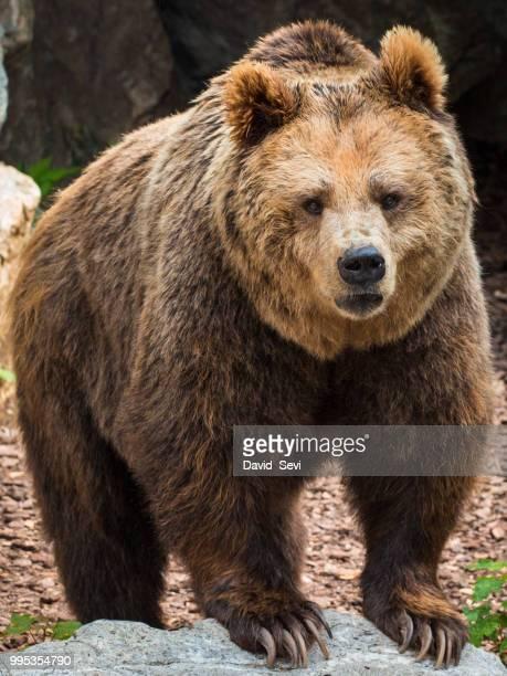 bfdo - orso bruno foto e immagini stock