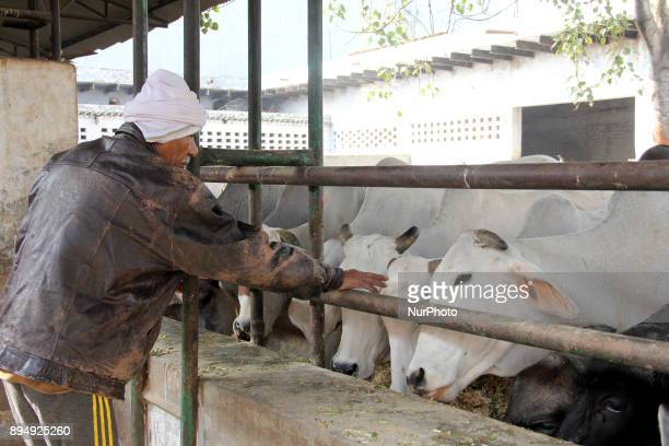 Bhum Ram a 70 year old man is feeding the cows past 40 years in Gurgaon Haryana State India