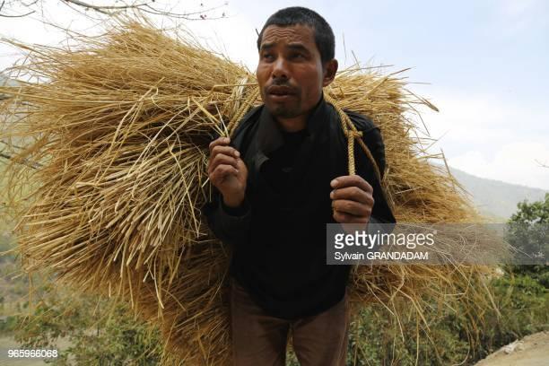 Bhutan City of Punakha peasant carrying rice straw for feeding cattle // Bhoutan ville de Punakha paysan transportant sur son dos de la paille de riz...