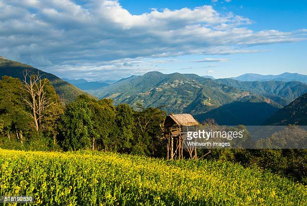 bhutan, trongsa, kubdra. hut on stilts over mustard field in southern bhutan hills. - trongsa district stockfoto's en -beelden