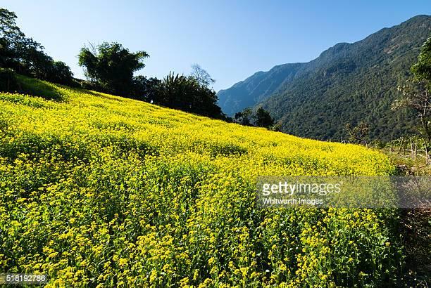 bhutan, trongsa, nimshong. village field with yellow flowering mustard crop. - trongsa district stockfoto's en -beelden
